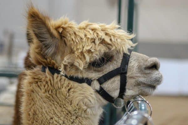 alpaca farm show