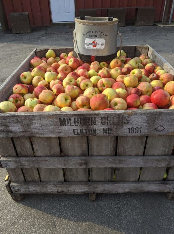 A Bin of Apples at Milburn Orchards