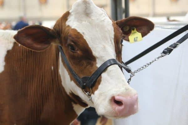 cow at farm show