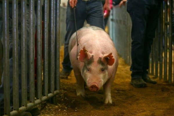 farm show pigs