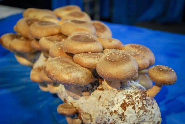 kennett square mushrooms