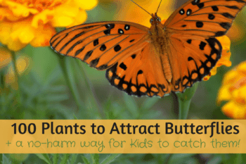 100+ Plants that Attract Butterflies~plus a no-harm way for your kids to catch them!