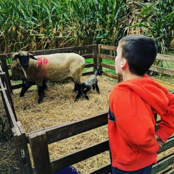 The sheep at Lytle's Pumpkin Patch.
